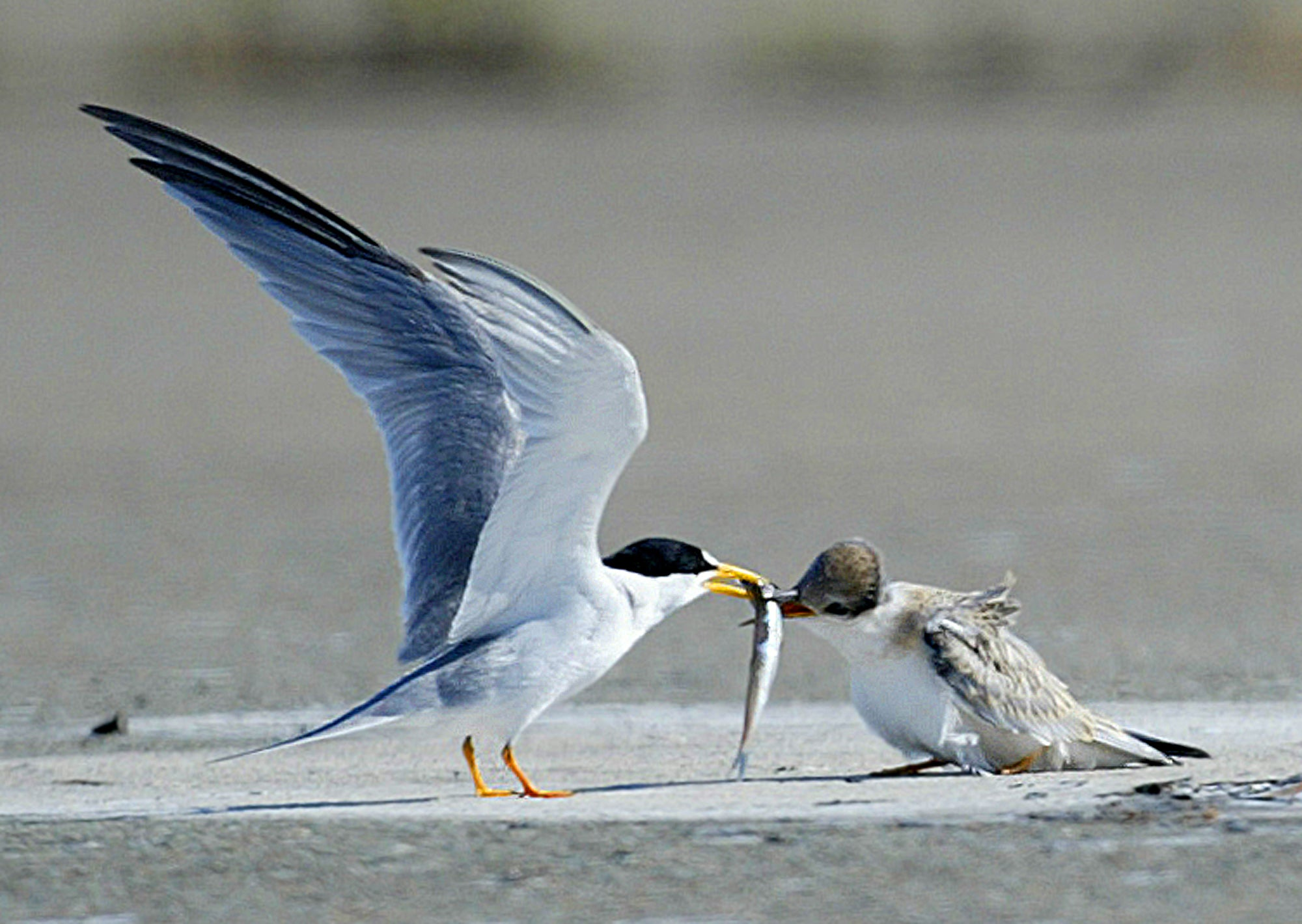 California least tern and fledgling. Photo taken by Aric Crabb.