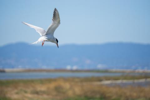 Shorebird and marsh