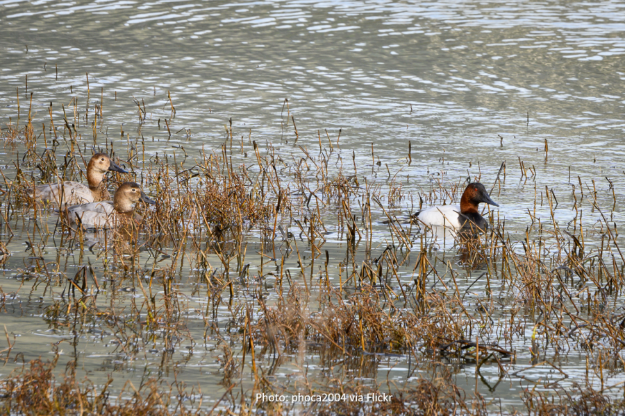 Ducks on Tiscornia Marsh